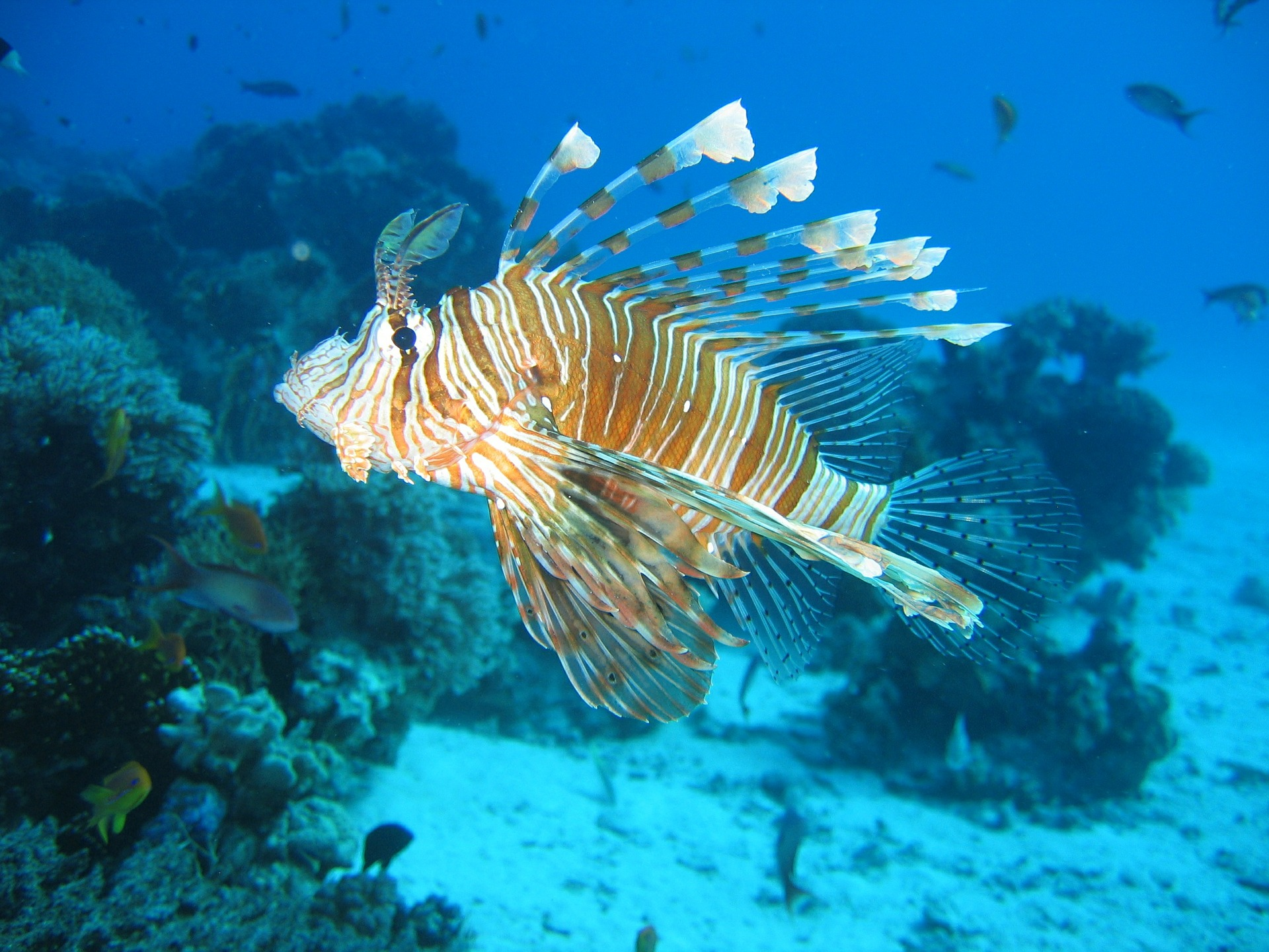 lionfish in the caribbean
