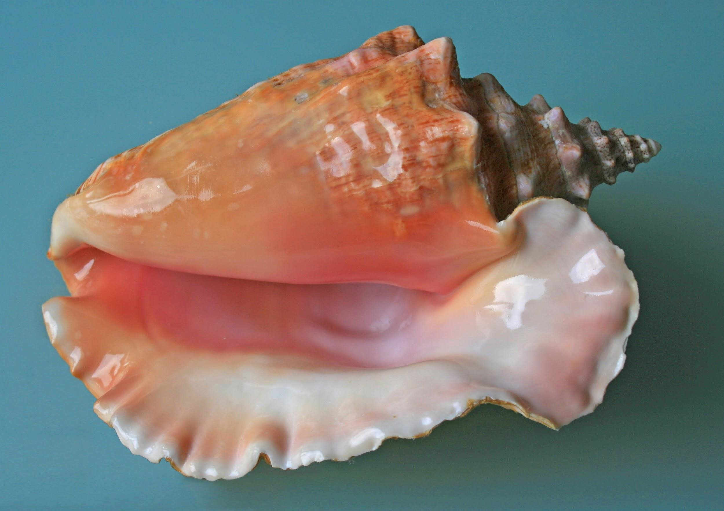 conch shell rules providenciales